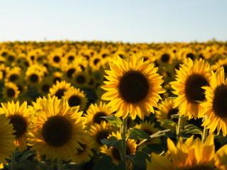 sunflower fields a short film indiegogo