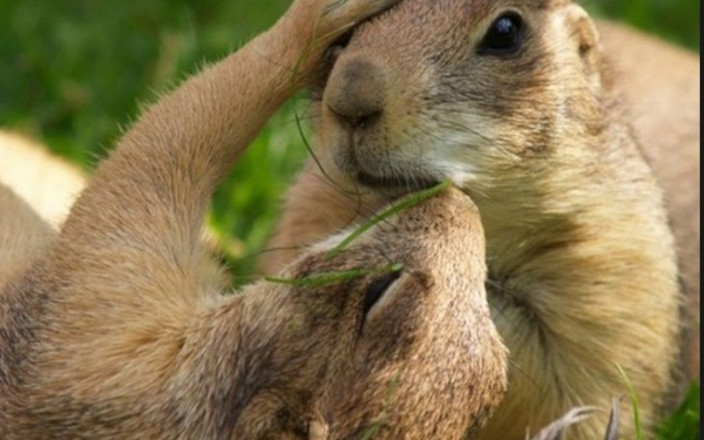 Save the Castle Rock Mall Prairie Dogs
