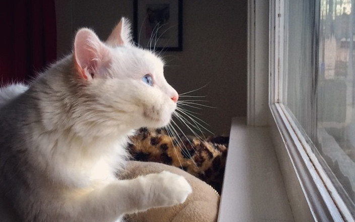Snowball needs surgery! Help a no-kill cat shelter