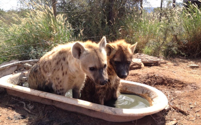 Help Daniell Cheetah Project Save Three Hyenas