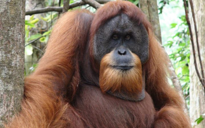 Project Sumatra - Part One, Orangutans