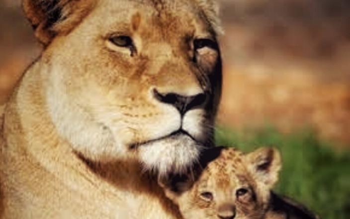 #lionmama