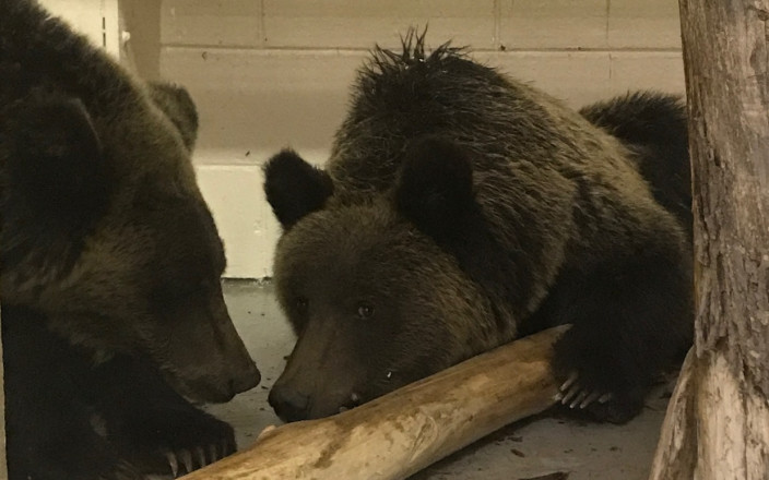 Orphaned bear cubs: building them a new home