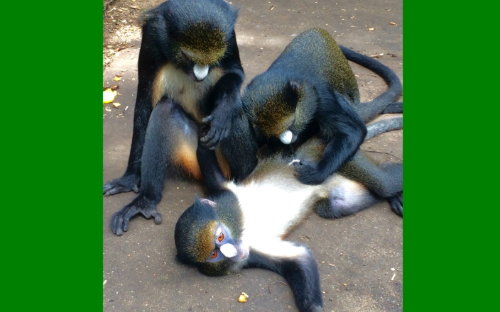 URGENT HELP SAVE 14 NIGERIAN MONKEYS