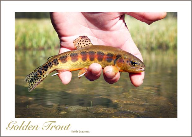 Golden Trout Fishing   Liquid Gold Indiegogo