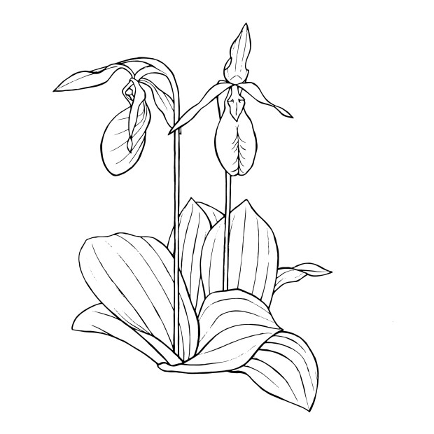 Medicinal Plants of the Northeast Coloring Book 2 | Indiegogo