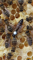 """100% biologisch 100% rückstandsfrei unbedenklich für die Bienen  einfache Handhabung ganzjährig, auch während der Tracht einsetzbar optimale Wirkung Imkerei ist derzeit in aller Munde. Dadurch betreiben natürlich auch viele Menschen diese als Hobby und sind nach dem ersten Winter meist ernüchtert und enttäuscht, weil das Volk, daß im Spätsommer noch so stark war über den Winter komplett zusammengebrochen ist. Aber auch professionelle Großimker verlieren Jahr für Jahr einen enormen Anteil Ihrer Völker.  Der Hauptgrund hierfür ist Varroa Destructor, eine Milbe, die aus Asien weltweit verschleppt wurde und die sich einerseits von den Körpersäften der Bienen ernährt, andererseits Krankheitserreger auf diese überträgt.  Herkömmlicher Weise kann die Milbe nur  mit Medikamenten bekämpft werden die dann im Wachs und Honig Rückstände bilden mit Säuren bekämpft werden, die teils gefährlich in der Anwendung und belastend für das Bienenvolk sind (Würden Sie sich in einer Säuredusche wohl fühlen) mit Hyperthermie (Wärme) bekämpft werden, wobei die Geräte dazu sehr teuer und oftmals kaum Wirksam sind. Hier haben wir einen völlig neuen Ansatz!  Mit dem """"Varroa-Killer-Sound"""" werden die Milben im Bienenvolk mit Frequenzen nahe am Ultraschallbereich abgetötet.  Die Behandlung ist für die Biene völlig ungefährlich und störungsfrei und wirkt effektiv bis in die Brut."""