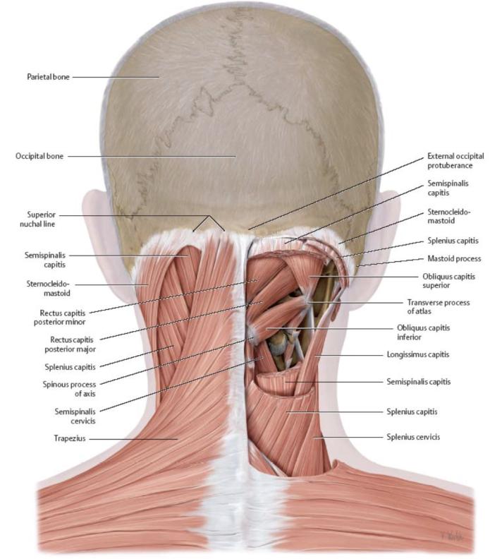 Neck Muscle Spasm And Headaches Necksaviour