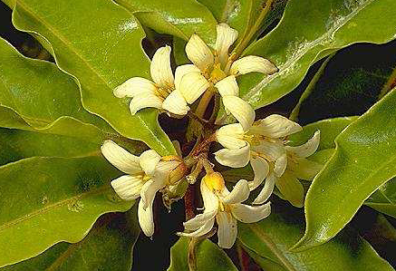 Pittosporum Undulatum plant.  The Incenso Honey comes from Pittosporum Undulatum plant.